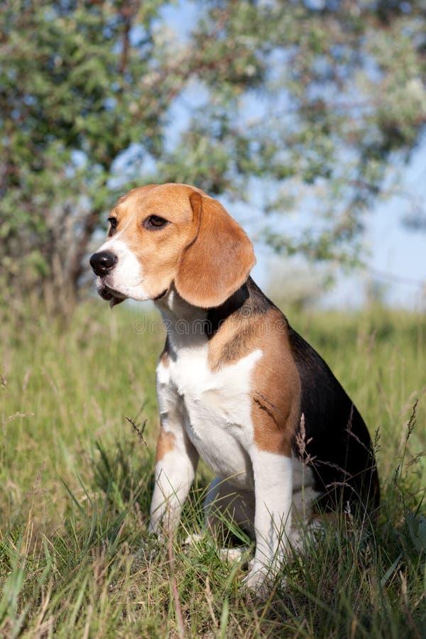 Un bello cane di segugio del cane da lepre immagine stock - Colorazione immagine di un cane ...