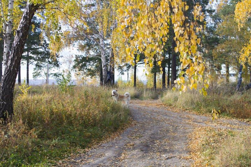 Un bello cane divertente di Akita Inu del giapponese sta nella foresta dorata di autunno fra le foglie cadute sulla strada fotografia stock