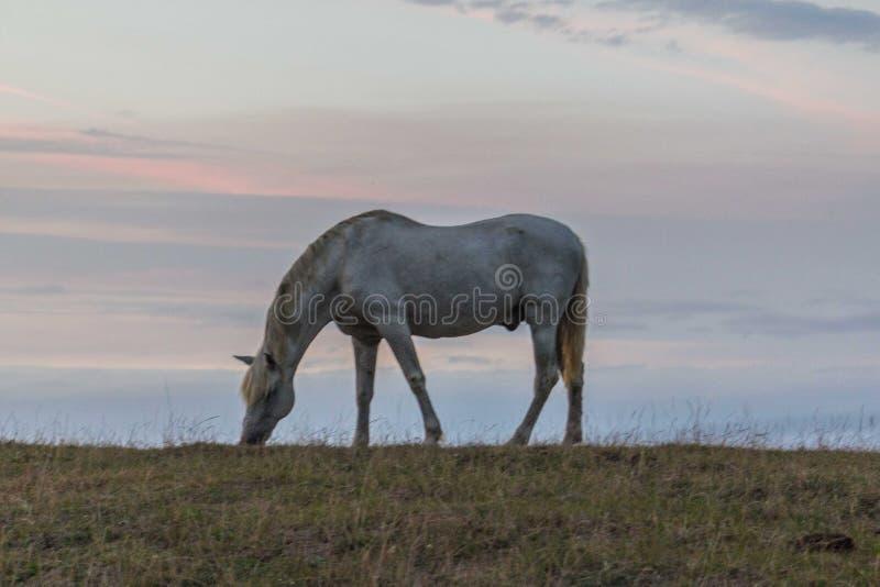 Un bello cavallo bianco che si alimenta in un pascolo verde in Spagna davanti all'oceano fotografia stock libera da diritti