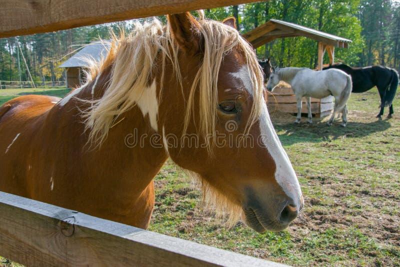 Un bello cavallo di baia sta vicino al recinta la penna immagine stock