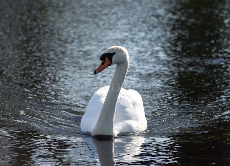Un bello cigno bianco nuota attraverso l'acqua scura e nera immagini stock