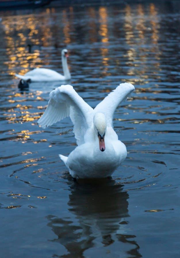 Un bello cigno bianco spande le sue ali sul fiume della Moldava a Praga, repubblica Ceca fotografie stock