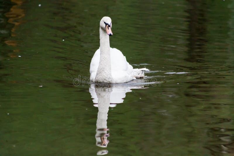 Un bello cigno bianco sta galleggiando su uno stagno con acqua verde fotografie stock