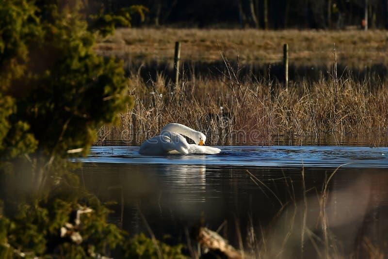 Un bello cigno selvatico, cygnus del Cygnus su un posto calmo ad un fiume sommerso fotografie stock libere da diritti