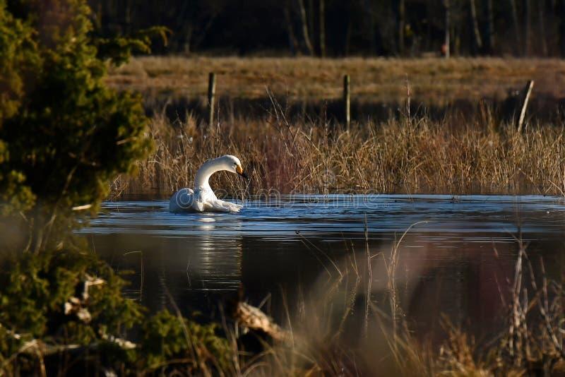 Un bello cigno selvatico, cygnus del Cygnus su un posto calmo ad un fiume sommerso fotografia stock libera da diritti