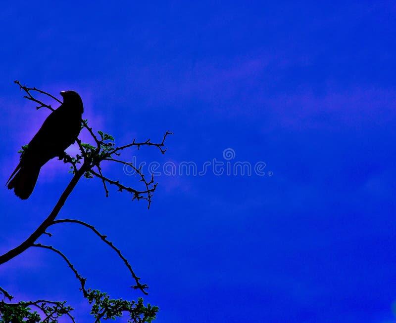 Un bello corvo appollaiato sopra un albero immagine stock libera da diritti