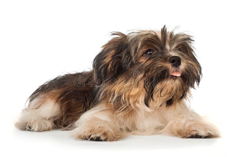 Un bello cucciolo di cane havanese sorridente situantesi del cioccolato fondente fotografia stock libera da diritti
