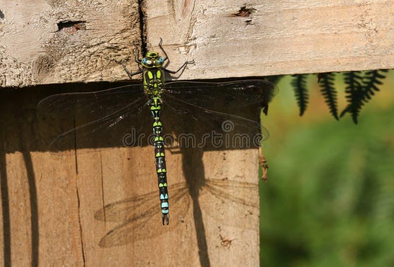 Un bello cyanea del sud di Dragonfly Aeshna del venditore ambulante si è appollaiato su un recinto di legno fotografia stock libera da diritti