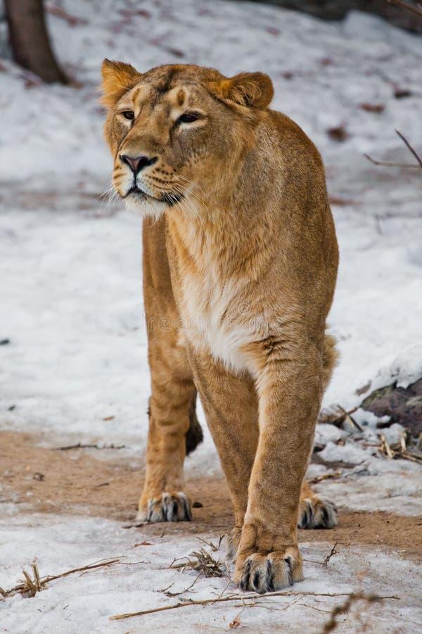 Un bello e forte leone femminile sta esaminandovi con attenzione ed avido Fondo bianco - neve fotografie stock