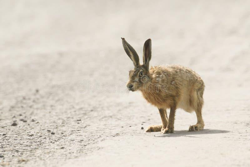 Un bello europaeus attento del Lepus della lepre di Brown che sta su una pista di sporcizia fotografia stock libera da diritti