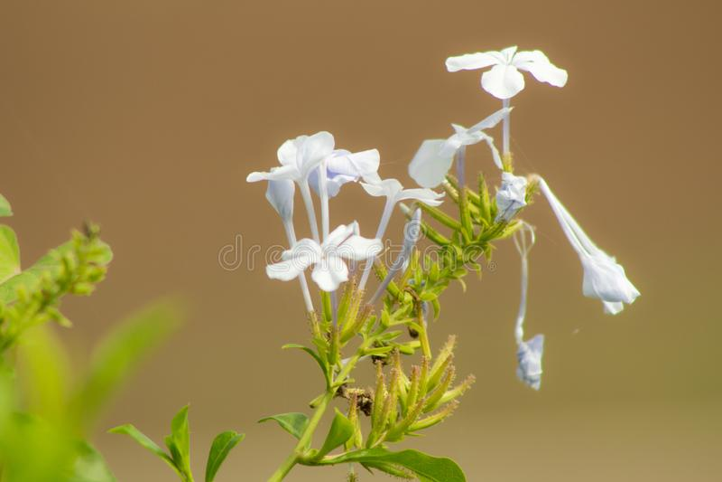 Un bello fiore bianco splende di mattina con i raggi del sole fotografia stock