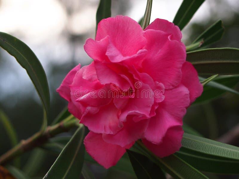 Un bello fiore dentellare fotografia stock