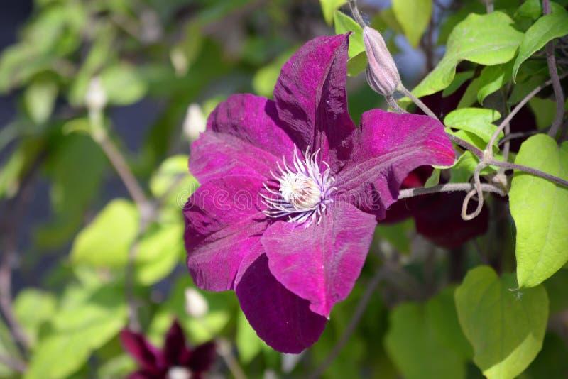 Un bello fiore di un papavero selvatico su un fondo confuso verde immagini stock