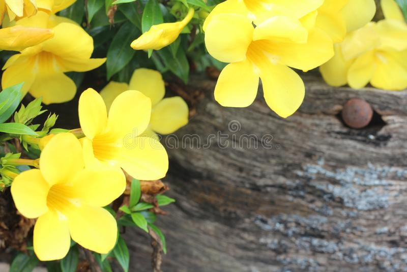 Un bello fiore giallo con i petali che fioriscono durante il giorno in cui il sole splende come componente della natura verde che immagini stock