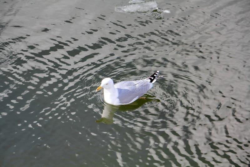 Un bello gabbiano irresistibile galleggia con garbo sull'acqua del fiume della molla fotografia stock