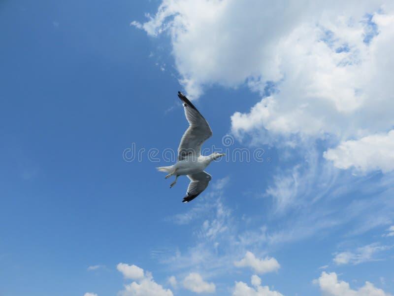 Un bello gabbiano in volo contro il cielo nuvoloso blu immagini stock libere da diritti