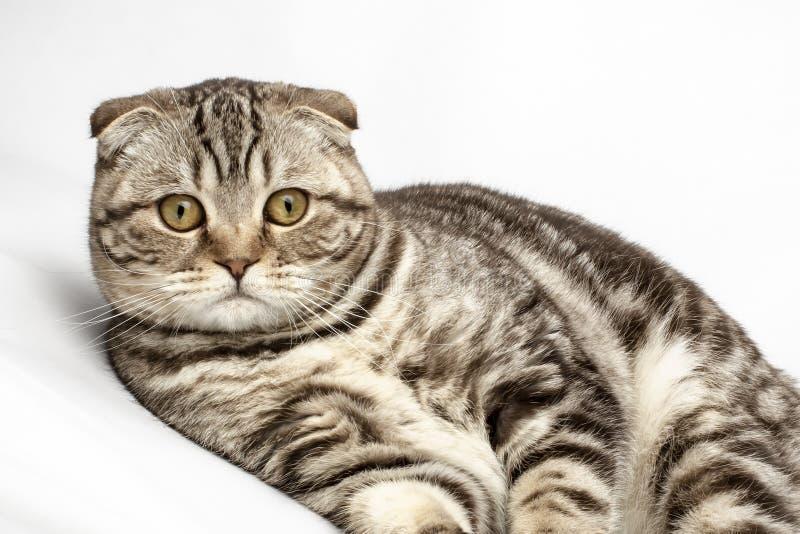 Un bello, gatto che di razza sveglio il popolare scozzese guarda si è sorpreso, su un fondo bianco immagini stock