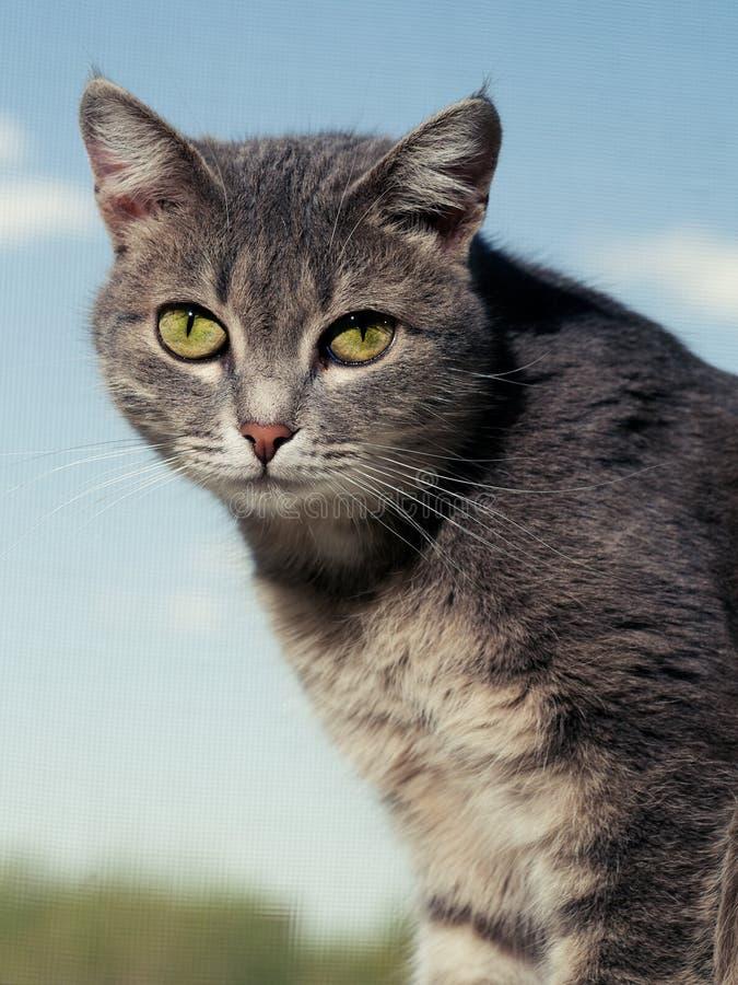 Un bello gatto dagli occhi verdi grigio con le bande in bianco e nero si siede sul davanzale e esamina la macchina fotografica fotografie stock libere da diritti