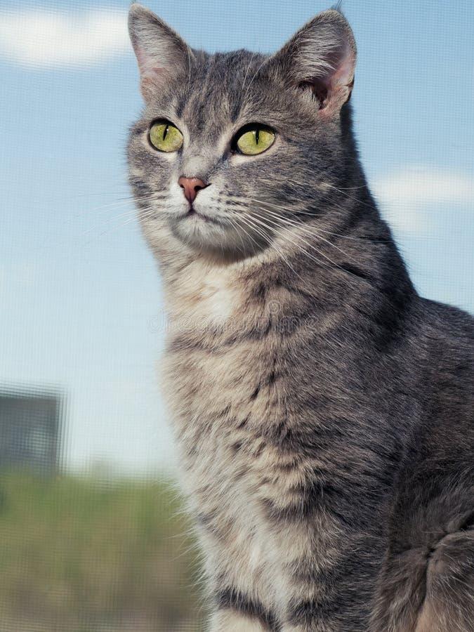 Un bello gatto dagli occhi verdi grigio con le bande in bianco e nero si siede sul davanzale e sullo sguardo del piccolo a partir fotografie stock