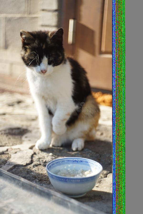 Un bello gatto tricolore si siede vicino ad una ciotola ceramica blu in un'iarda dell'estate fotografia stock