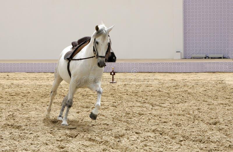 Un bello gioco bianco dello stallion immagini stock libere da diritti