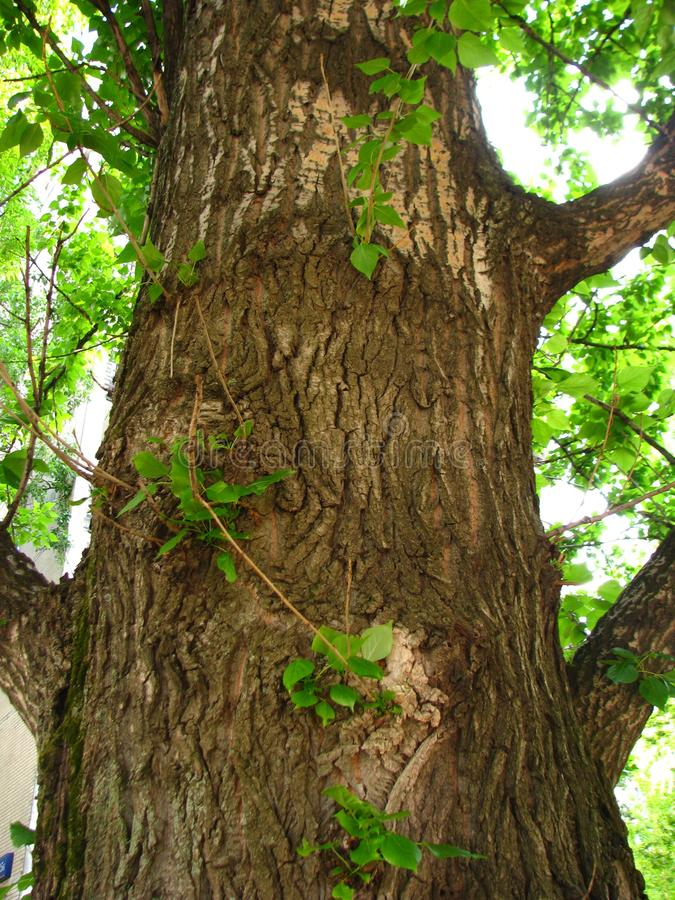 Un bello grande albero leggiadramente immagine stock