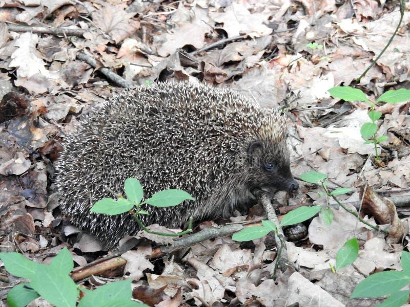 Un bello istrice in foresta, Lituania fotografie stock