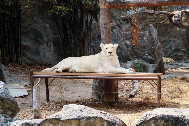 Un bello leone femminile bianco immagine stock