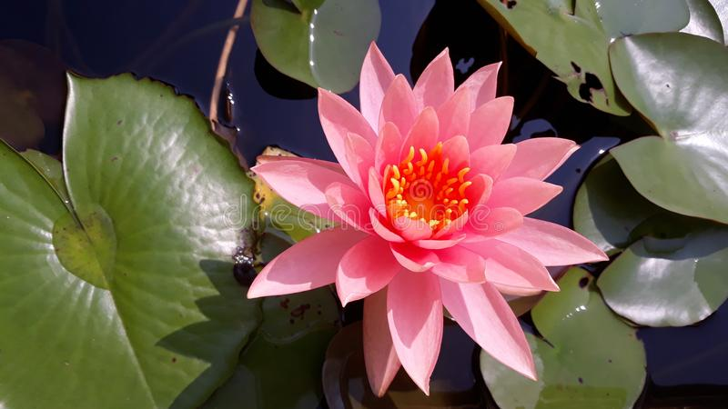Un bello loto rosa dentro nello stagno fotografia stock libera da diritti