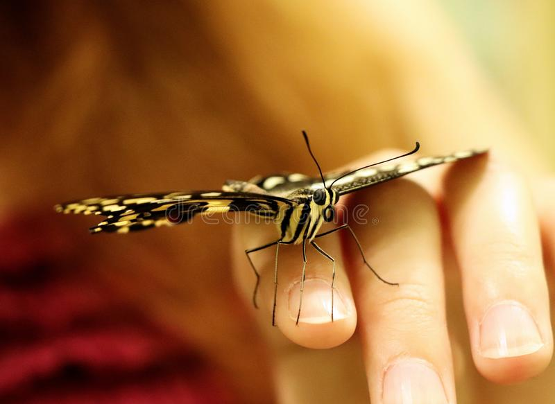 Un bello machaon di Papilio a disposizione nel pascolo della Slovacchia fotografia stock libera da diritti