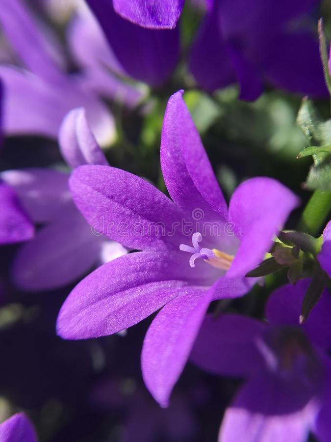 Un bello macro colpo della campanula del fiore fotografia stock