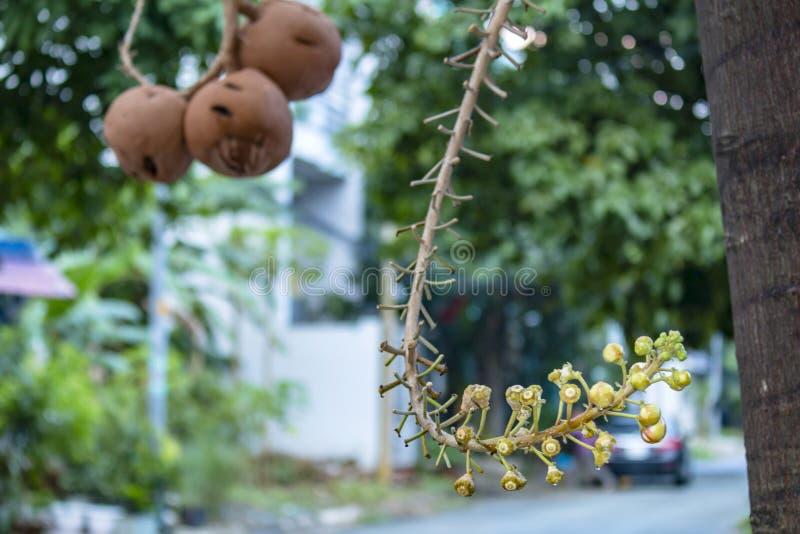 Un bello macro colpo di un fiore dal guianensis insolito di Couroupita dell'albero della palla di cannone immagine stock