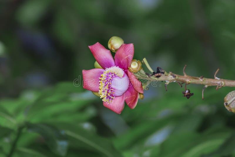 Un bello macro colpo di un fiore dal guianensis insolito di Couroupita dell'albero della palla di cannone immagine stock libera da diritti