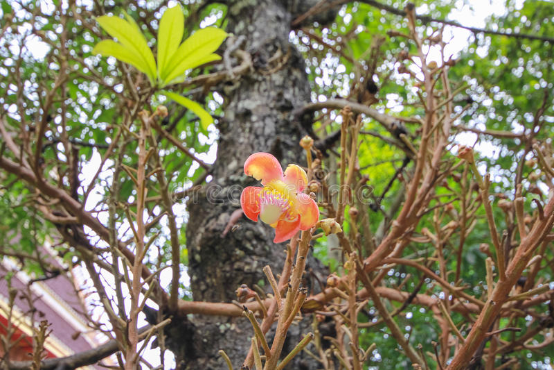 Un bello macro colpo di un fiore dall'albero insolito della palla di cannone immagine stock