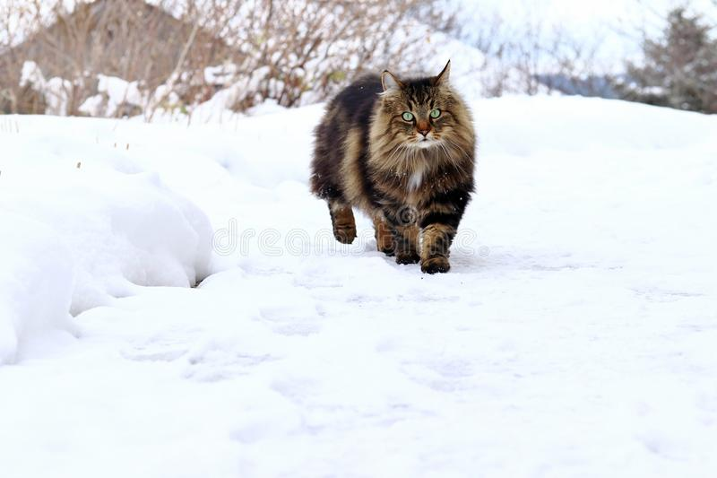 Un bello norvegese Brown-nero Forest Cat cammina attraverso la neve fotografie stock