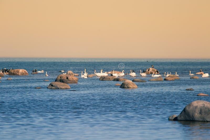 Un bello paesaggio della molla alla spiaggia con una colonia degli uccelli Cigni, cormorani, gabbiani che si rilassano sulle piet immagini stock