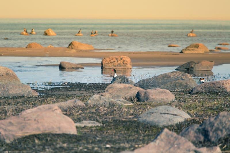 Un bello paesaggio della molla alla spiaggia con una colonia degli uccelli Cigni, cormorani, gabbiani che si rilassano sulle piet immagine stock