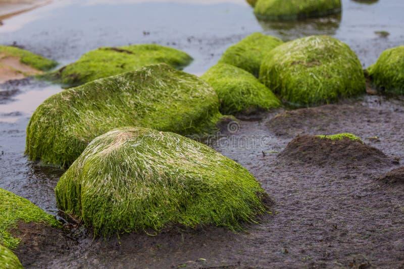 Un bello paesaggio della spiaggia con un muschio verde ha coperto le pietre Alghe che crescono sulle rocce della spiaggia immagini stock