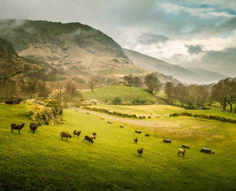 Un bello paesaggio irlandese della montagna in primavera con le pecore immagine stock libera da diritti