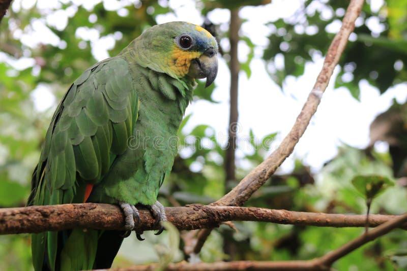 Un bello pappagallo farinoso che si siede su un ramo immagini stock