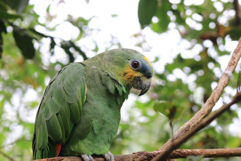 Un bello pappagallo farinoso che si siede su un ramo fotografia stock