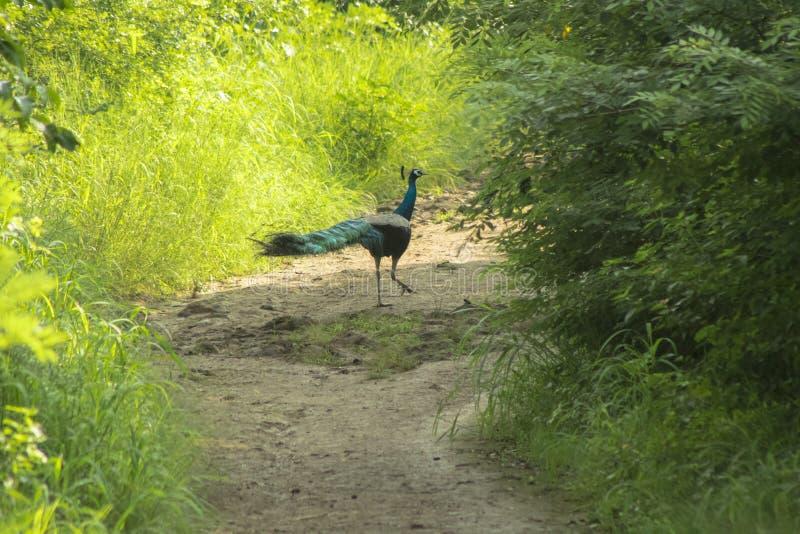 Un bello pavone visto di mattina fotografia stock libera da diritti