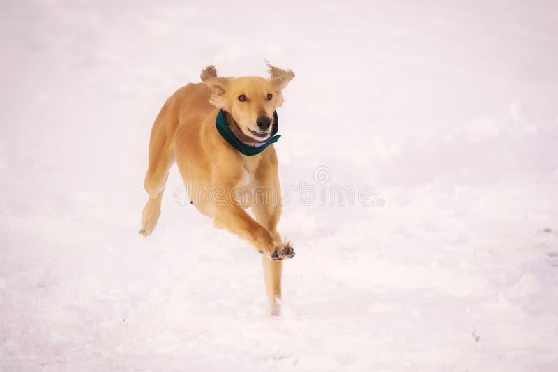 Un bello perro pardo persiguiendo presa en la nieve imagenes de archivo