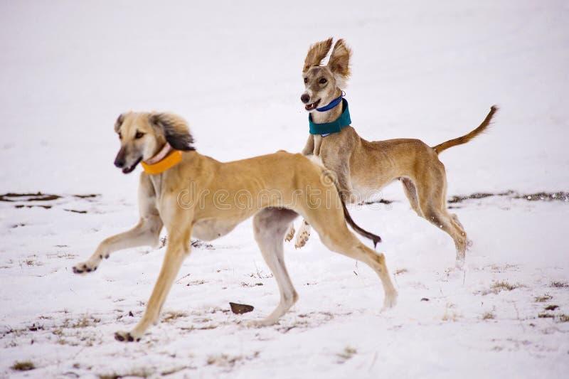 Un bello perro pardo persiguiendo presa en la nieve fotografía de archivo