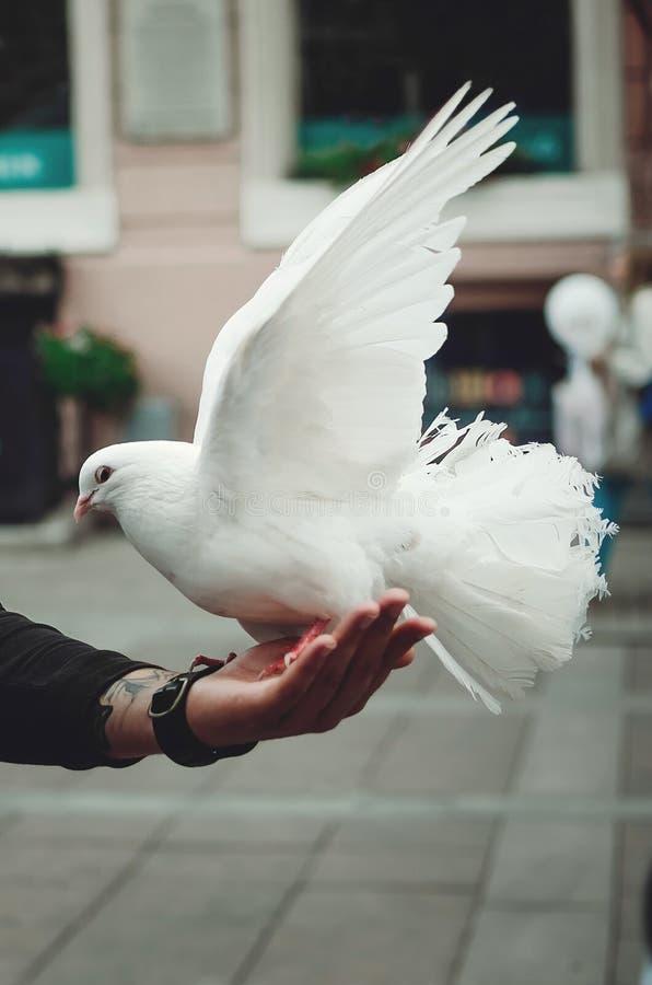 Un bello piccione di razza bianco si siede su una mano del ` s dell'uomo fotografie stock libere da diritti