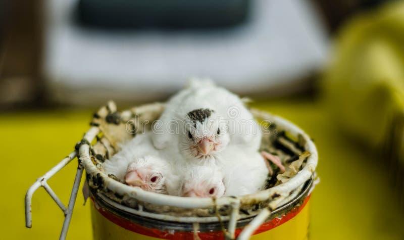 Un bello piccolo uccello color giallo canarino bianco che si siede sulla sua pertica fotografie stock libere da diritti