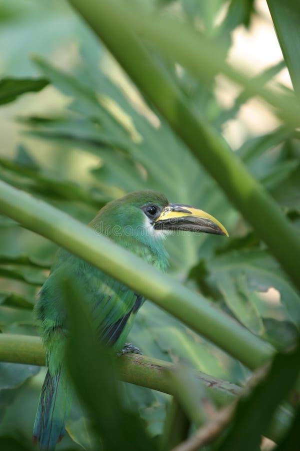 Un bello prasinus verde smeraldo verde di Toucanet Aulacorhynchus si nasconde in un cespuglio fotografie stock libere da diritti