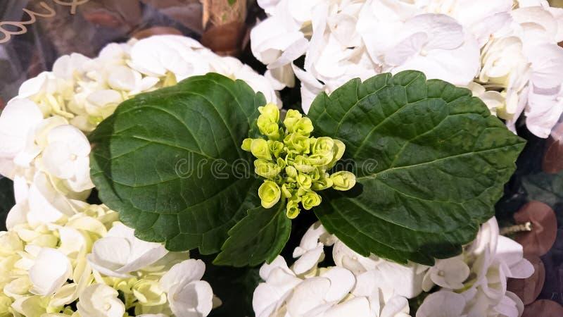 Un bello ramo di un fiore del cespuglio Germogli verdi e fiori bianchi immagini stock