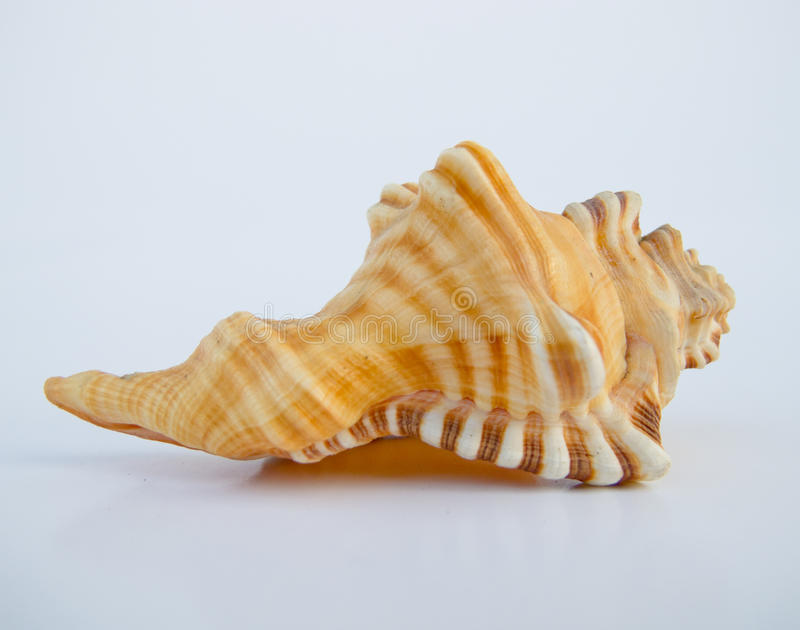Un bello seashell fotografia stock