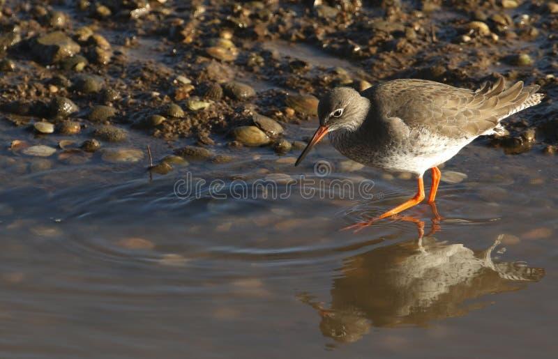 Un bello totanus del Tringa della pettegola che cerca per l'alimento in un estuario costiero del mare nel Regno Unito fotografie stock
